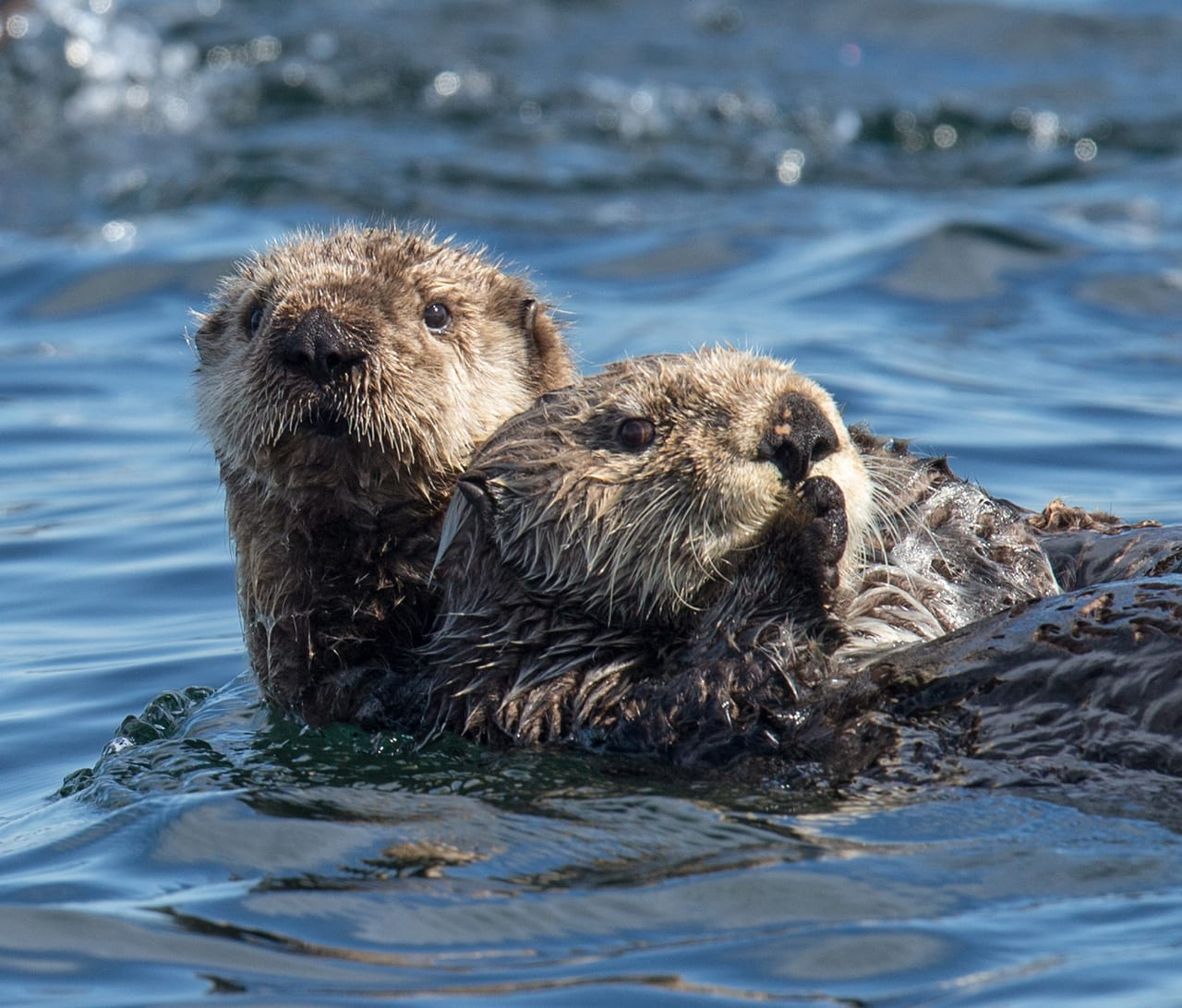 Two otters swimming together