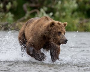bear viewing in alaska