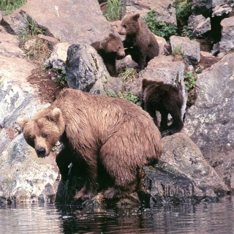 Family of bears on Wolverine Creek