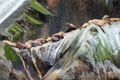 Alaskan seals sunbathing on rock.