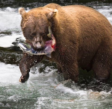 Bear in river catching salmon in mouth